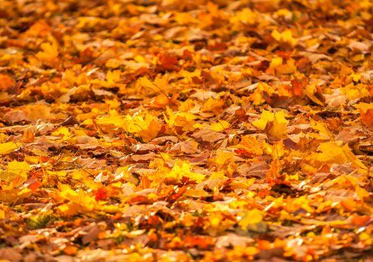 Herfstbladeren, bladeren